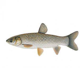 Белый амур 14-18 см